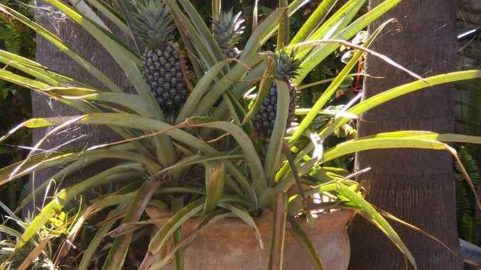 Rosina Buckman's pineapples in a pot.
