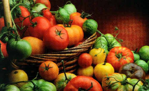 Tomatoes are the world's most widely grown crops – and it's no wonder when you consider the wide variety of uses.