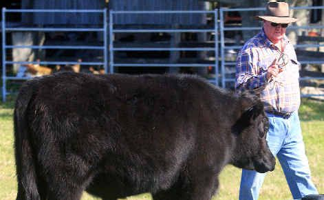 In control: Kevin McMahon and dog Rose working some cattle.