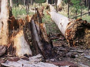 Greens condemn plan to reopen logging in CQ state forests