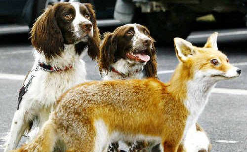 Ferreting out foxes: Gus (left) and Katie, two Working English Springer Spaniels, aren't fooled by this stuffed fox as their skills in hunting down foxes were demonstrated for the National Parks and Wildlife Service in Byron Bay yesterday.