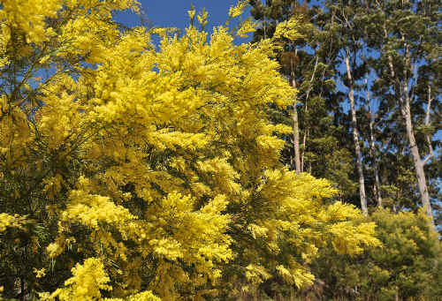 Wattle trees in flower along the Pacific Highway.
