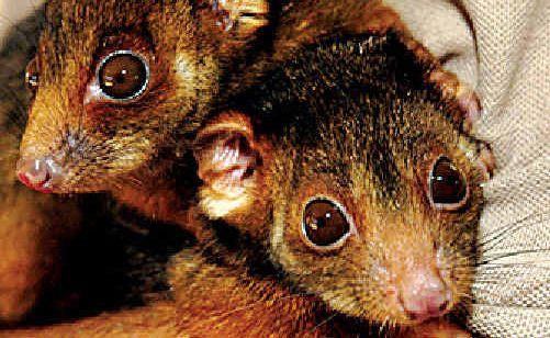 Possums at the Wildlife Centre in Eumundi.