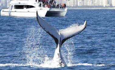 No way: Tweed whale-watching businesses say the idea of a levy on them to pay whaling nations to stop would not work.