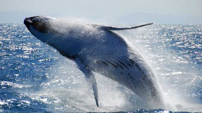 The acrobats of the ocean - Humpback Whales put on a show in waters off the Sunshine Coast.