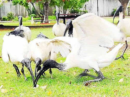 The Australian white ibis is becoming a pest across Bundaberg.