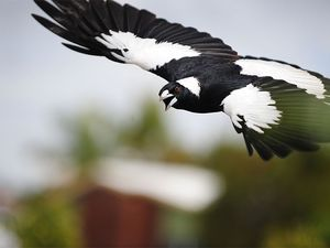 Tips to avoid being swooped by magpies