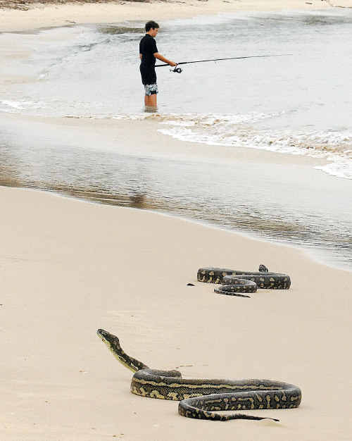 Two coastal carpet pythons put on a fascinating display on the water's edge at Yamba's Whiting Beach.