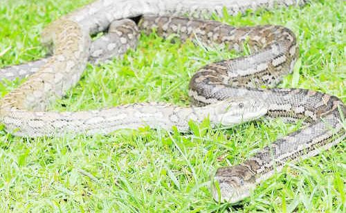 Three decent sized carpet pythons were caught in a ceiling at a Telina residence.