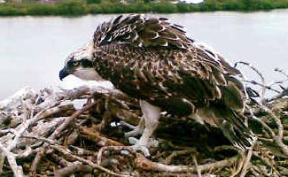 Safely home: This young osprey chick was happy to be back in its nest at Ballina Golf Club after a long fall, possibly the result of heavy winds.