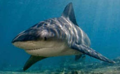 Reported sighting of what may have been a bull shark in the canal at Crystal Waters, Yamba.