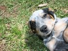 Sally is a three month old desexed female Australian Cattledog x Border Collie. ID: 528524.