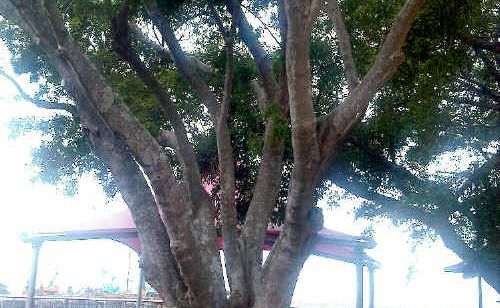Mackay Regional Council says a decaying fig tree in Post Office Park, which is a danger to passers-by, will be removed before someone is hurt.