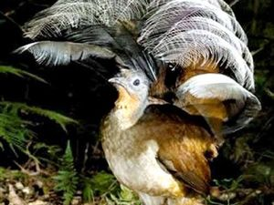 Landcare launches crowdfunding to save threatened lyrebird