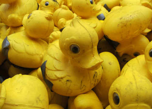 Ready to go: The Coffs Harbour Rotary Duck Race is on Sunday.