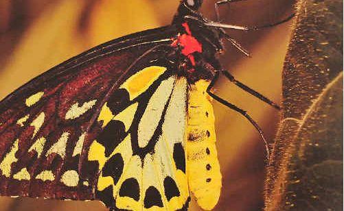 Richmond birdwing butterfly.