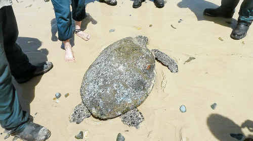 Epic journey: The hawksbill turtle found on a Brooms Head beach.