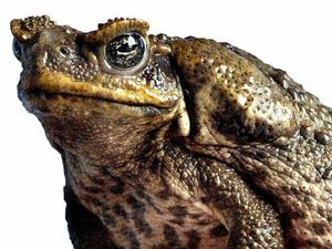 Early success in toxin trial to rid Fraser of cane toads