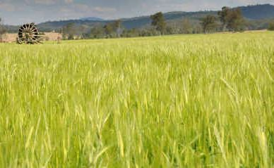 Barley could benefit from the new FTA with China.