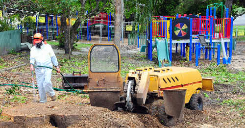Camphor Laurel trees are cut down at Tewantin State School.