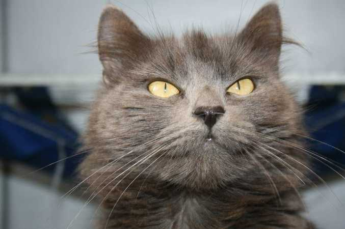 Foxie is a two-year-old, desexed female, Domestic Medium Hair cross.  ID: 535142