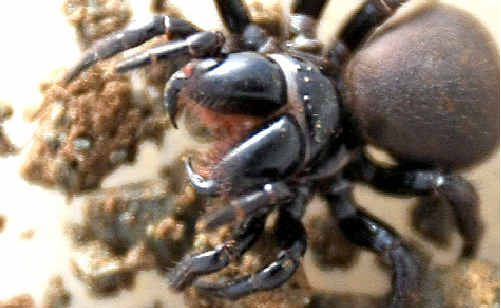 Precaution: Greg Ryan found this funnel web spider outside a Banora Point home.
