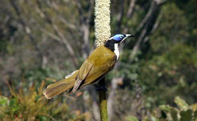 A blue-faced honey-eater on Fraser Island.