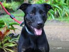 Mia has been at the shelter for 164 days now. She is a very happy, friendly Kelpie Staffy cross. She is four years old. ID: 509346.