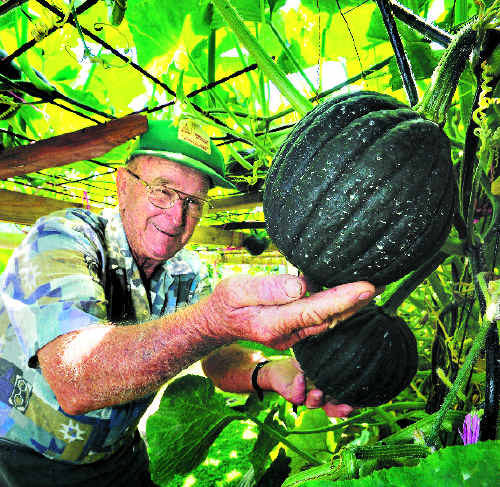 Backyard gardener Jim Cannane, of Evans Head, checks on the progress of some of his hanging pumpkins as he shares the secrets of his growing success.
