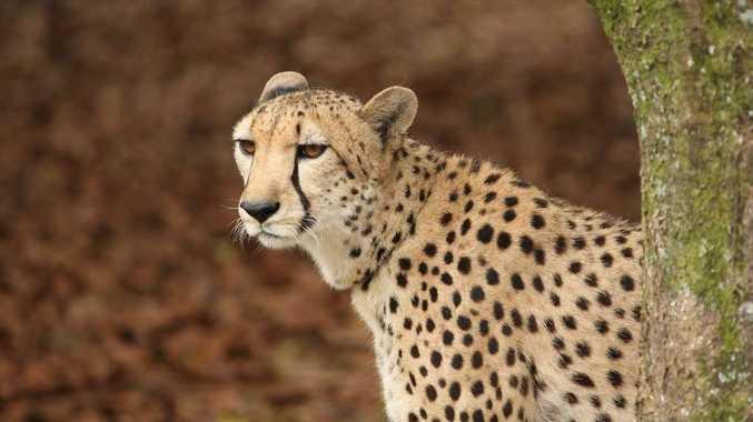 In December last year, a cheetah delayed a Qantas domestic flight in Australia.