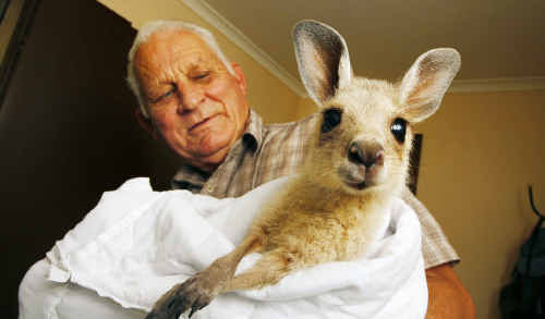 FAUNA carer Charles Kranenburg with joey William, who is already practising his boxing.
