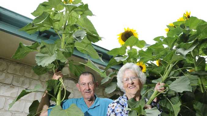 Newtown Gardens Village residents Colin Jannusch and Marj Birchall stand amongst some towering sunflowers.