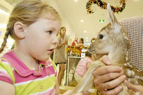 Little Karleigh Weise is amazed to meet Squeak, one of Santa's baby reindeer.