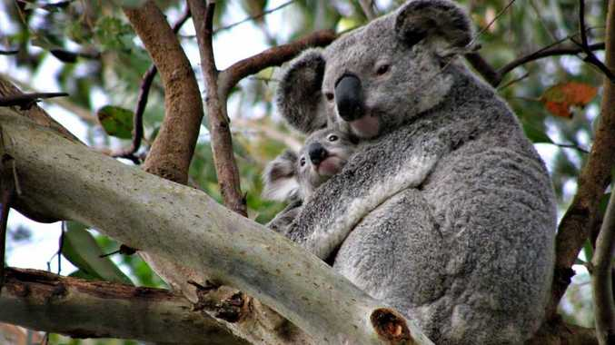 Gum on mates - help us save our habitat, we're good neighbours and we're a more than just a little bit cute!