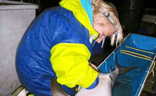 Shark tales: Dr Amy Smoothey fits an electronic tag to a Clarence River bull shark that'll be tracked over 10 years via underwater acoustic listening stations.