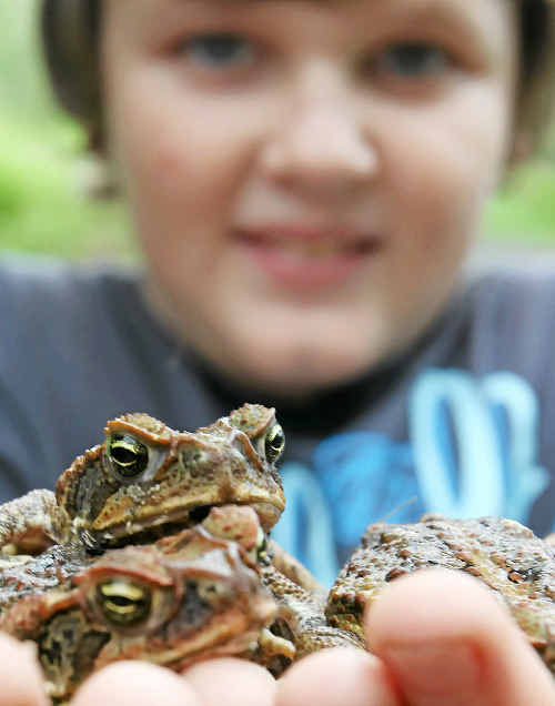 Corey Fisher shows a handful of cane toads his dad Neil Fisher found in their nursery.