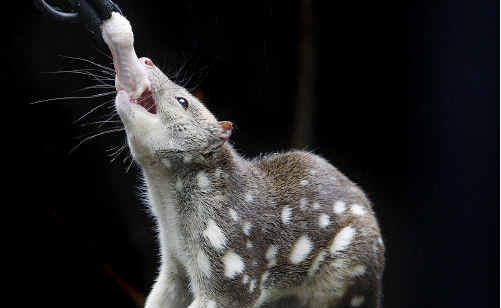 The fate of the spotted-tailed quoll may still prove a stumbling block to the multi-million dollar mega resort.