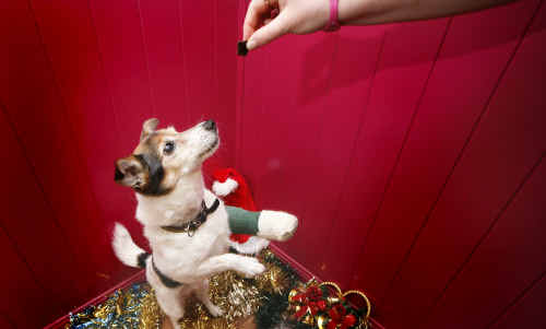 Staff from the Ipswich AWL Vet Clinic has warned against Christmas indulgences for pets.