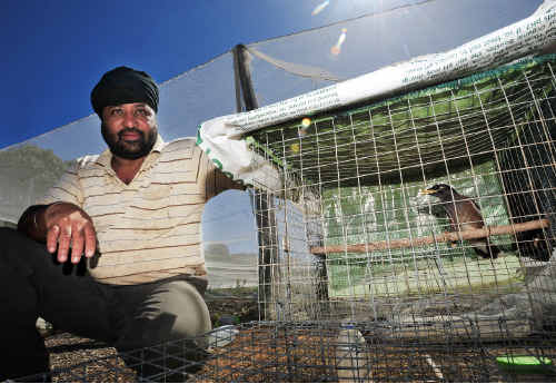 Bird in the hand: Gurdial Rai and the myna trap which is keeping the birds out of his blueberries.