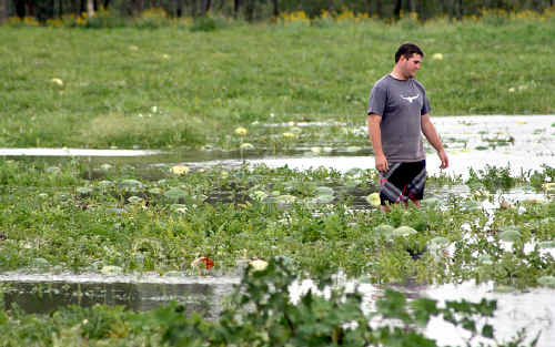 Melon grower Bryce Sturgess in a watermelon crop close to being completely swamped by rising floodwaters.