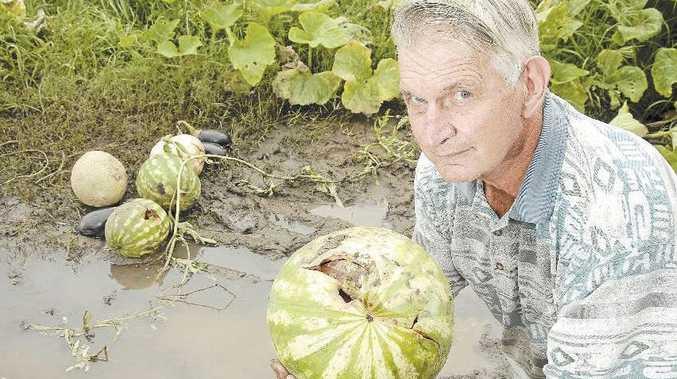 Devestating floods have left Lockyer Valley farmer Wally Reimann with paddocks full of worthless crop.