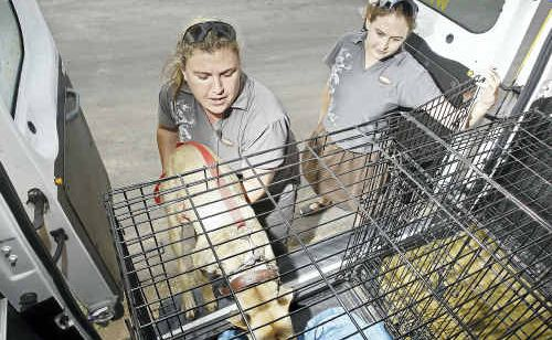 AWL employees Nicole Cannon and Gabrielle Wheaton taking the Ipswich pound animals to the Animal Welfare League.