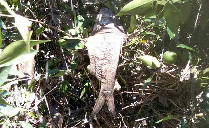 This fish was found in a mandarin tree at Wallaville near Gin Gin.
