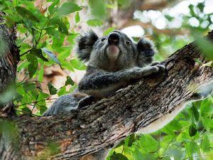 Planting trees to help Bongil Bongil's koala population