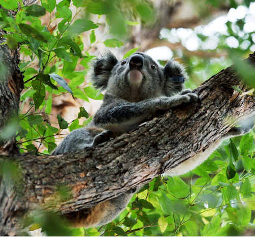 Planting of more trees in Bongil Bongil National Park is being planned to aid the local koala population.