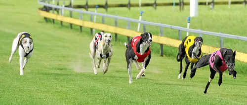 Chilling Speed wins the Best 8 event at the Bundaberg Greyhound Racing Club meeting on Saturday from Palomino.