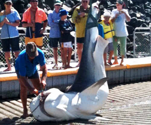 This large female tiger shark, which weighed about 500kg, was hauled from the water at Mackay Marina by crane yesterday after it was caught in a drumline off Mackay Harbour Beach.