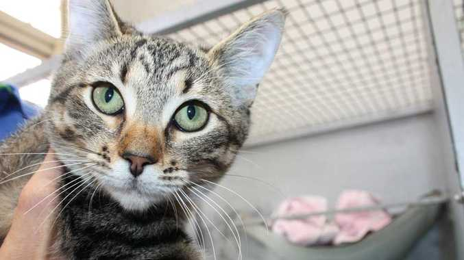 Milly is a four-month-old, de-sexed female, domestic short hair cross.  ID: 531322
