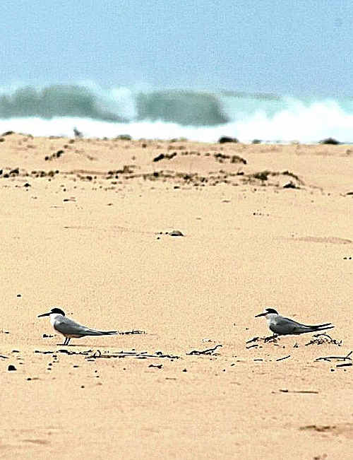 What a tern up: The endangered little tern colony at Hearnes Lake has fledged 30 chicks this breeding season.