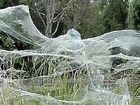 Spiders spin 'angel's hair' webs